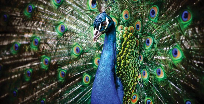 peacock-1024x717